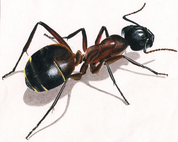 Illustration, peinture fourmi