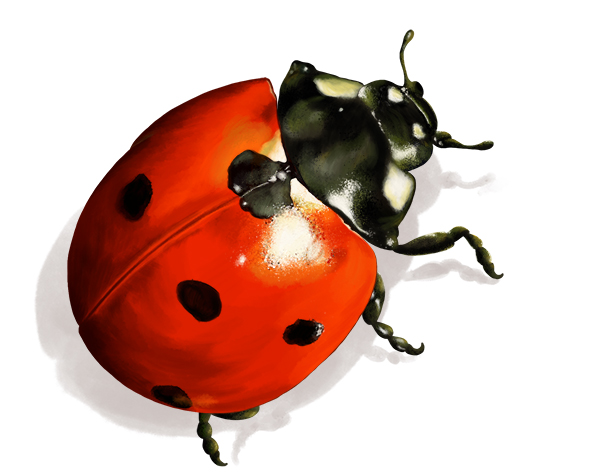 Illustration animale la coccinelle