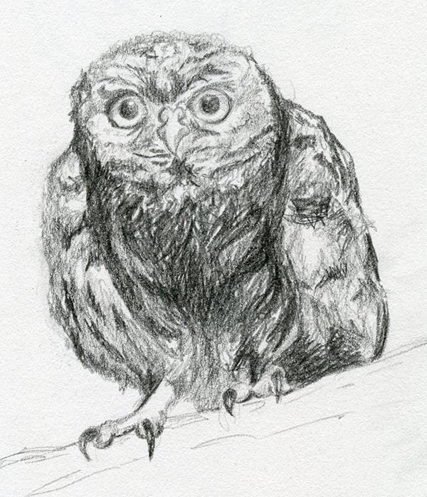 Croquis dessin au crayon gris chouette