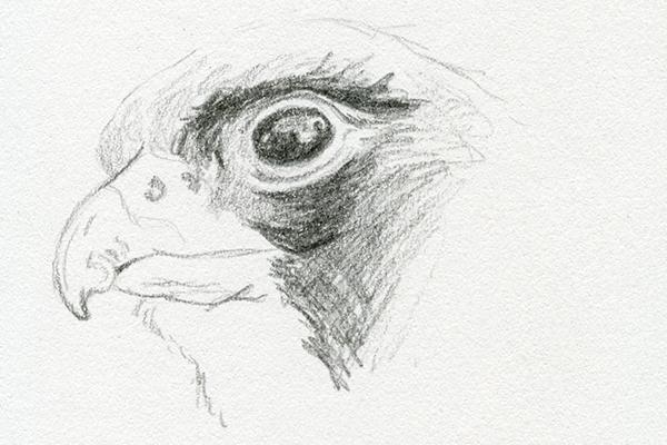 Croquis dessin au crayon gris aigle