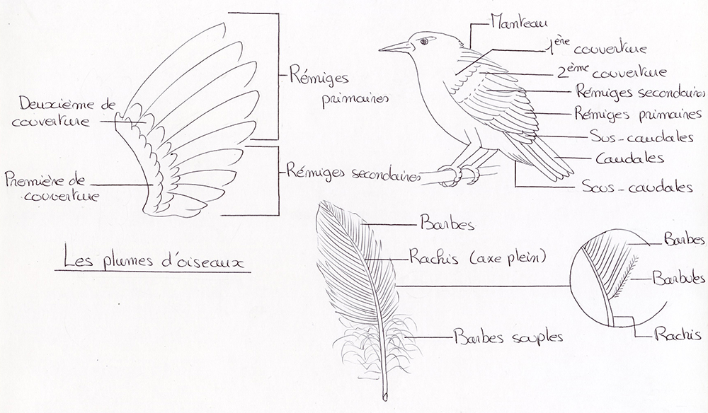 comprendre-plumes