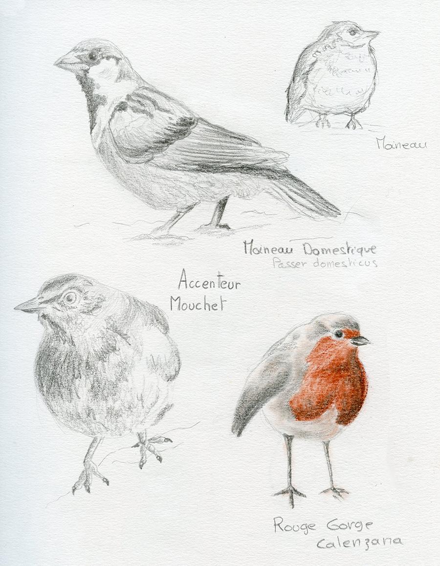 Croquis crayons oiseaux