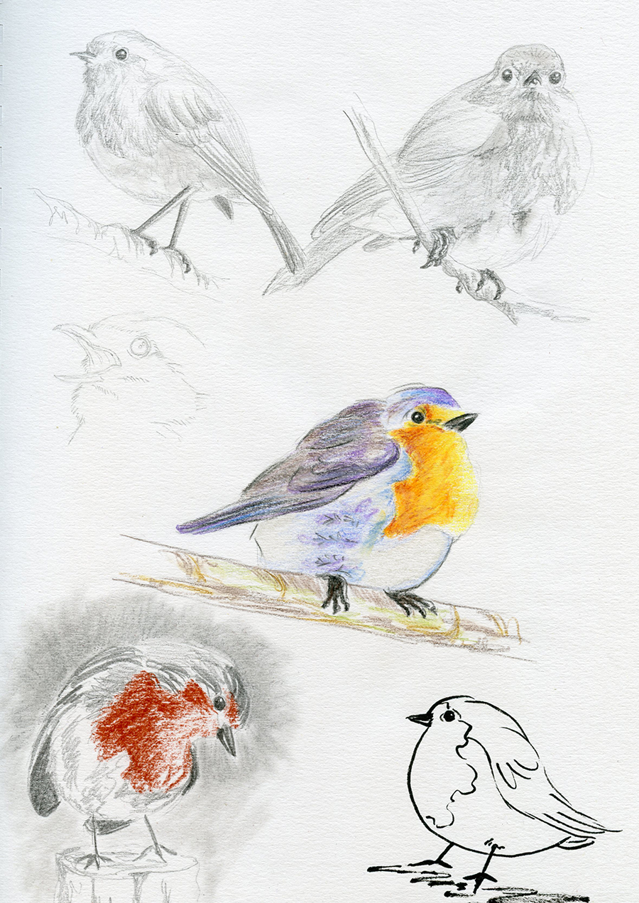 Croquis crayons oiseaux rouge gorge
