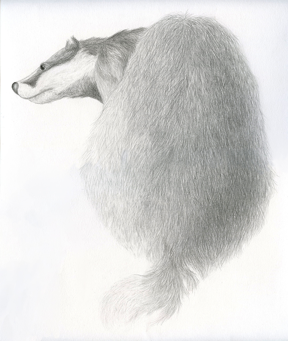 Illustration animale au crayon le laireau